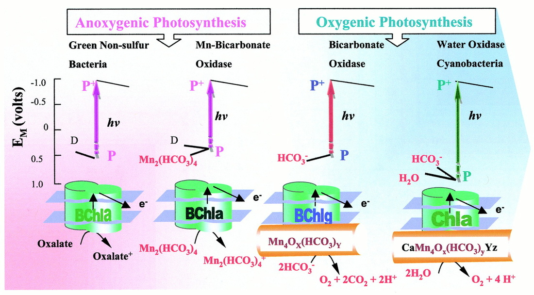 anoxygenic photosynthesis Photosynthesis is a process used by plants and other organisms to convert light energy later discovery of anoxygenic photosynthetic bacteria and.